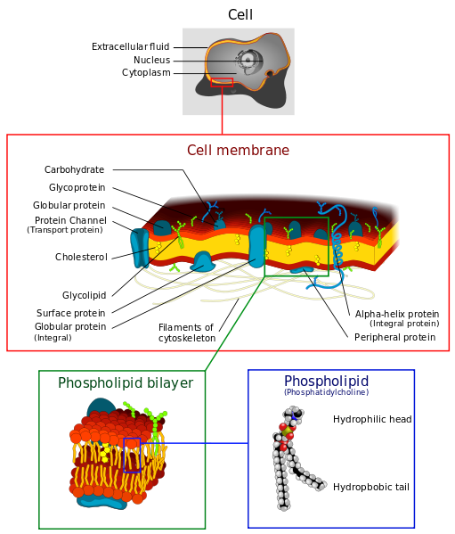 Illustration of biological cell plasma membrane