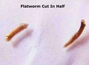 how to cut planaria in half